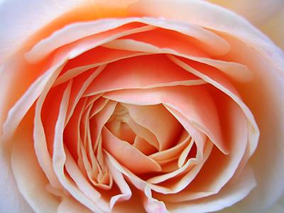 sb_meraner_rose